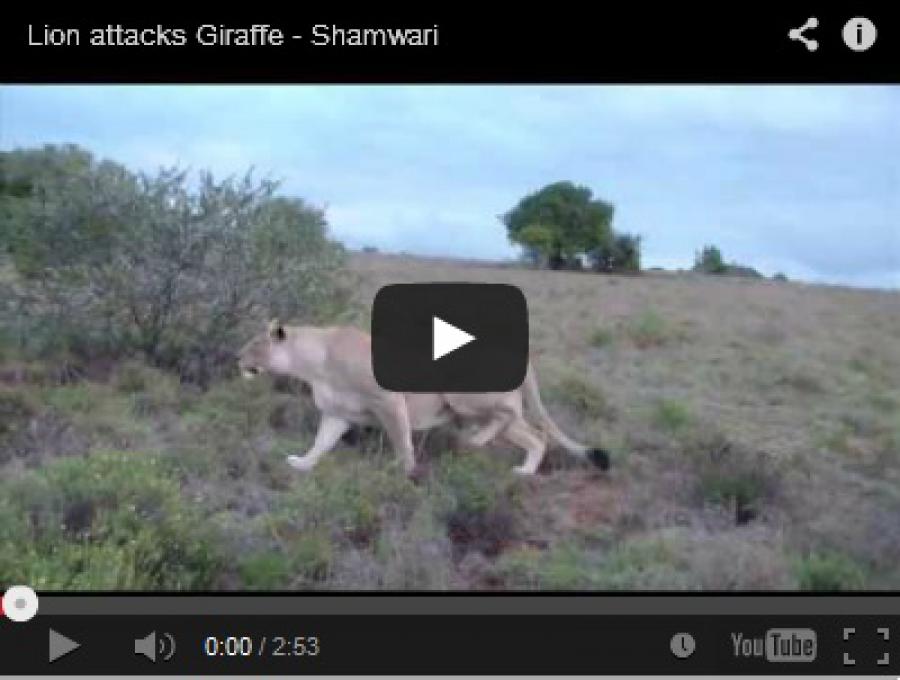 Lion Attacks Giraffe Shamwari Caravan Amp Outdoor Life