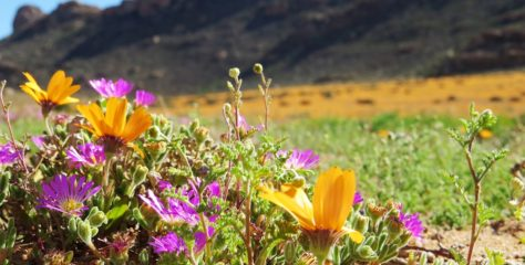 Blooming Good Time in Namaqualand