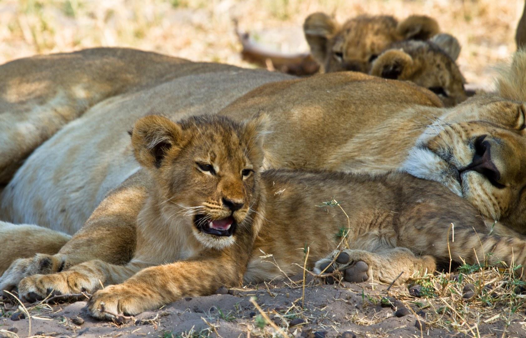 Lioness and cubs near Savuti, Botswana